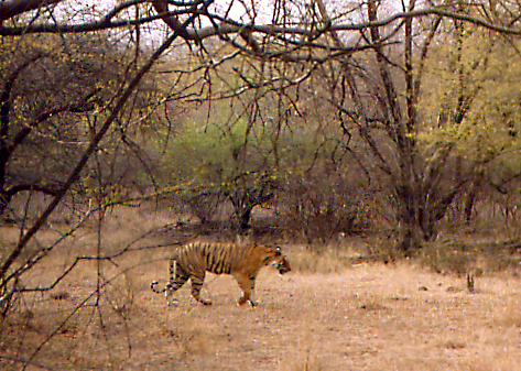Tiger in Ranthambore Wildlife Park in India