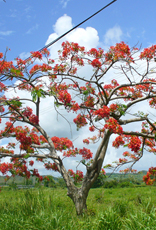 June 2007 flamboyan tree