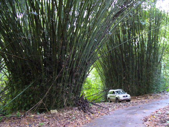 bamboo stands in the Rio Abajo Forest Reserve Puerto Rico karst area