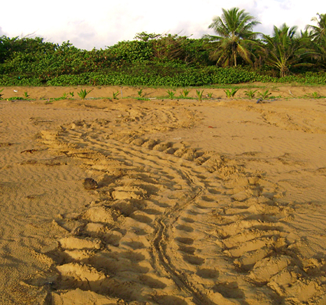 Leathrback turtle path from the sea to her nest