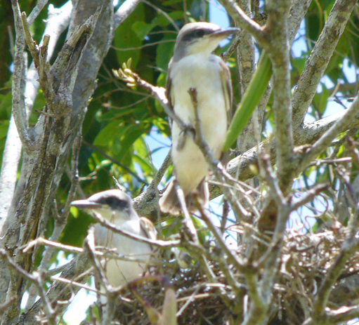 Puerto Rican flycatchers endemic Pitirre