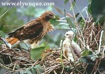 Guaraguao or Red Tailed Hawk and chick