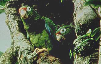 Puerto Rican Parrot is an endangered species