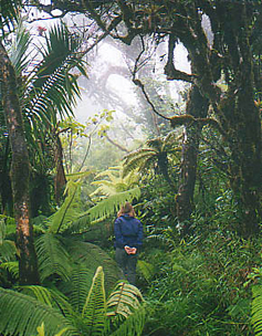 the elfin or dwarf or cloud forest on top of el yunque puerto rico