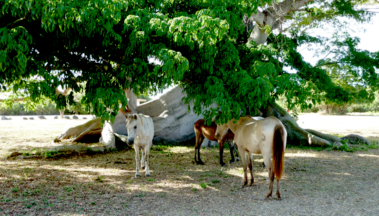 300 year Ceiba tree with horses